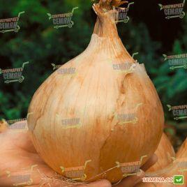 Глобо семена лука репчатого (Semo)