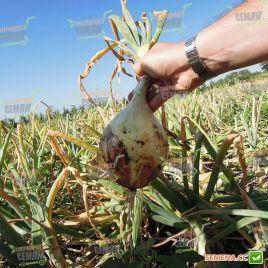 Глобо семена лука репчатого позднего 150-160дн 400гр (Semo)