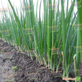 Ранила F1 (SM 0812 F1) семена лука на перо ультрараннего (Semo)