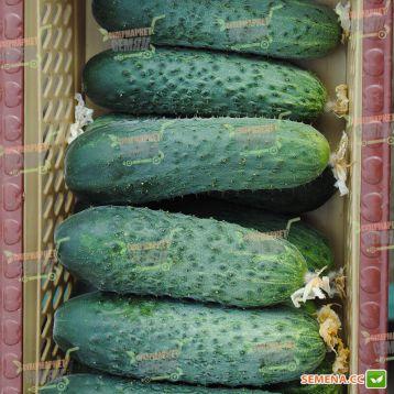 СВ 4097 ЦВ F1 (SV 4097 CV F1) семена огурца партенокарп. раннего 40-45 дн. 11-13 см (Seminis)