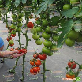 Анетта F1 (CRX 78288 F1) семена томата индет. среднеранн. окр. 160 гр. (Cora Seeds)