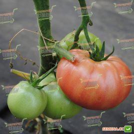 Анетта F1 (CRX 78288 F1) семена томата индет. среднеранн. окр. 160 гр. (Cora Seeds) НЕТ ТОВАРА