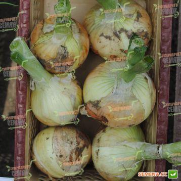 Кэнди F1 (Кенди, Candy F1) семена лука репчатого ультрараннего среднего дня (Seminis)