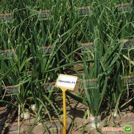 Оризаба F1 (Orizaba F1) семена лука репчатого среднего 120дн. длинного дня белого (Seminis) НЕТ ТОВАРА