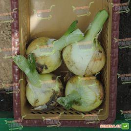 Ранко F1 семена лука репчатого раннего 100 дн. (Cora Seeds)
