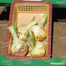 Ранко F1 семена лука репчатого раннего 98-100 дн. (Cora Seeds)