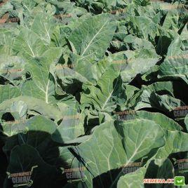 Форталеза F1 (Fortaleza F1) семена капусты цветной средней 75-80 дн. 2-2,3 кг бел. (Seminis)