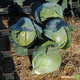Каунт F1 семена капусты б/к поздней 130-140 дн. 2,5-3,5 кг окр. (Clause)