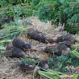 Матч F1 семена моркови Нантес средней 120 дн. (Clause)