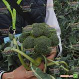Монако F1 семена капусты брокколи средней 70-80 дн. 1,5-2 кг (Syngenta)