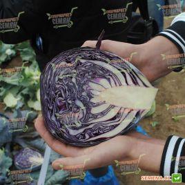 Рескью F1 семена капусты к/к поздней 135-140 дн. 2-2,5 кг (Syngenta)