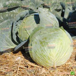 Центурион F1 семена капусты б/к среднепоздней 100-110 дн. 3-3,5 кг окр-прип. (Clause)