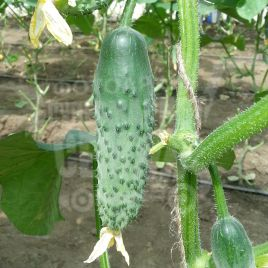 Артист F1 семена огурца партенокарп. раннего 40-45 дн. 8-10 см (Bejo)