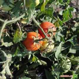 Велоз F1 (Veloz F1) семена томата дет. раннего 90 дн. слив. 100-110г (Seminis)