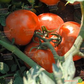 Лабадо F1 семена томата дет. среднеспелого окр. 180-200г (Lucky Seed)