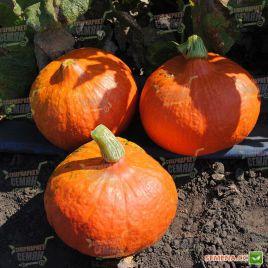 Оранж Саммер F1 Organic семена тыквы ранней тип Uchiki Kuri крупноплодной 1-1,5 кг (Enza Zaden/Vitalis)
