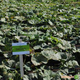 Сампсон F1 семена тыквы тип Серая тыква крупноплодной средней 105-110дн. 5-7 кг (Enza Zaden)