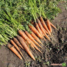 Афалон F1 семена моркови Нантес/Берликум среднепоздней 115-120 дн (Moravoseed)