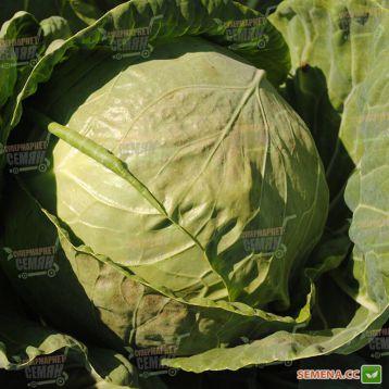 Грегориан F1 семена капусты б/к среднеранней 65-70 дн 2-2,5 кг окр. (Syngenta)