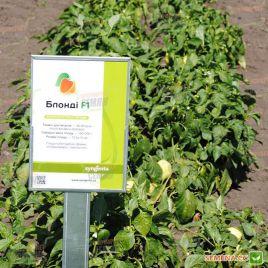 Блонди F1 семена перца сладкого тип Блочный раннего 56-60 дн. корот.куб. 190-200 гр 10,5х10 см 4-х камер. бел./желт. (Syngenta)