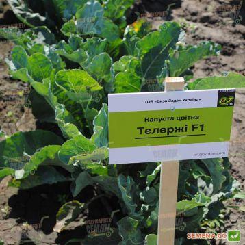 Телержи F1 семена капусты цветной среднего 80-83 дн 1,8-2,2 кг (Enza Zaden)