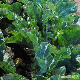 Каспер F1 семена капусты цветной средней 85-95 дн. 1,5-2,5 кг бел. (Rijk Zwaan)