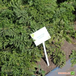 Джерада F1 семена моркови Нантес (калибр. 1,4-1,6) ранней 90 дн. (Rijk Zwaan)