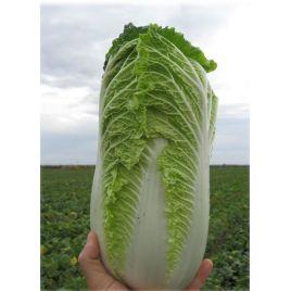 Билко F1 семена капусты пекинской поздней 67дн. 1,2-1,8 кг (Bejo)