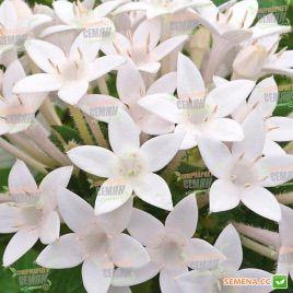 Нью Лук F1 белый семена пентаса ланцетного дражированные (Benary)