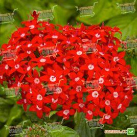 Нью Лук F1 красный семена пентаса ланцетного дражированные (Benary)