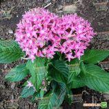 Нью Лук F1 розовый семена пентаса ланцетного дражированные (Benary)