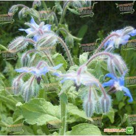 Бораго (огуречная трава) семена (Hem Zaden (Голландия)