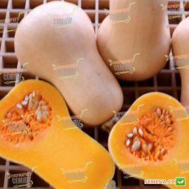 Винес F1 семена тыквы мускатной средней 85-100 дн. 0,6-1,0 кг (Sakata)