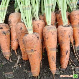 Альтона F1 (1610 F1) семена моркови Курода Шантане средней 105-110 дн. (Agri Saaten)