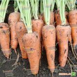 Альтона F1 (1610 F1) насіння моркви Курода Шантане (Agri Saaten)