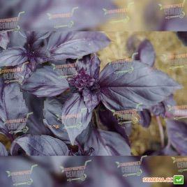 Рози Organic семена базилика фиолетого (Enza Zaden/Vitalis)