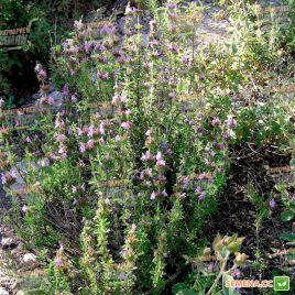 Саммер савои семена чабера садового (Hem Zaden ПН)
