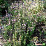 Чабер садовый Саммер савои семена (Hem Zaden (Голландия)