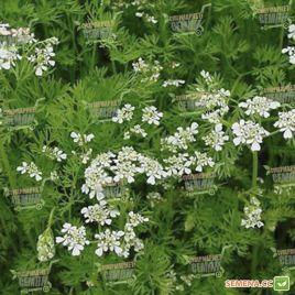 Кориандр (кинза) семена (SAIS)
