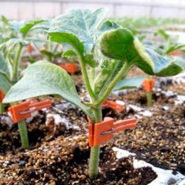 Кобальт семена подвоя (Rijk Zwaan)