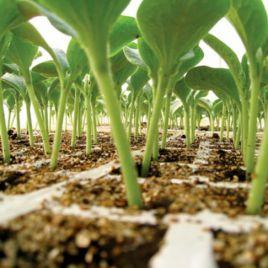 Пелопс семена подвоя (Rijk Zwaan)