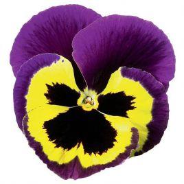 Дельта F1 желтая с пурпурным крылом семена виолы (Syngenta)