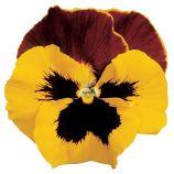 Дельта F1 желтая с красным крылом семена виолы (Syngenta)