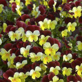 Пенни F1 желтая с красным крылом семена виолы (Syngenta)