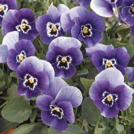 Пенни F1 дип марина семена виолы (Syngenta)