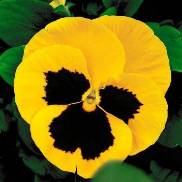 Маммут F1 желтый с глазком семена виолы (Syngenta)