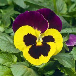 Карма F1 желтая с пурпурным крылом семена виолы (Syngenta)
