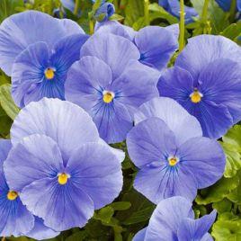 Карма F1 небесно-синяя семена виолы (Syngenta)