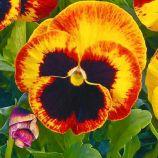 Карма F1 фаєр насіння віоли (Syngenta)