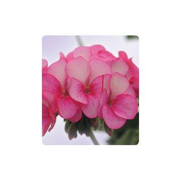 Герань (пеларгония) Салют Rose Ice